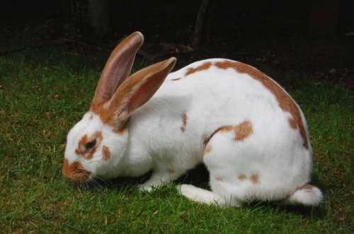konijnenrassen klein