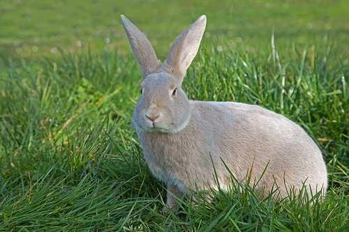 Afbeeldingsresultaat voor luchs konijn